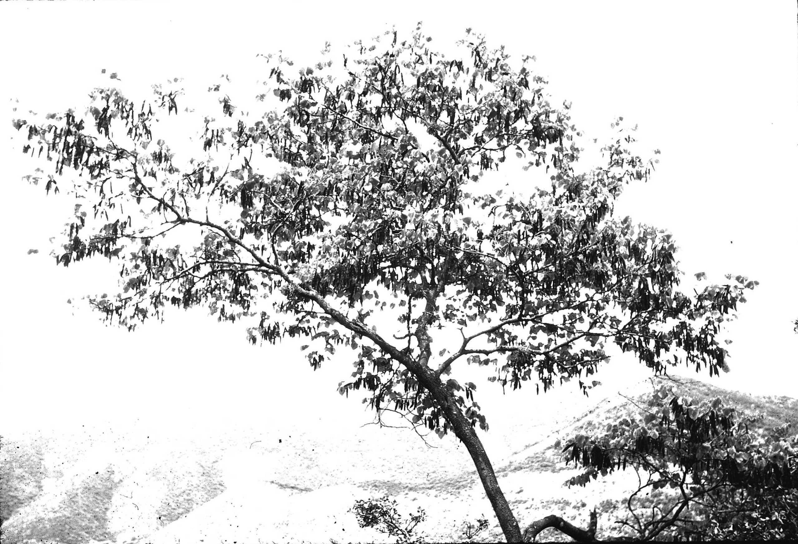 El duraznillo Cercis canadensis L. var mexicana (Rose) M. Hopk. En fructifi- cación. Se agradece la asistencia del Dr. A. Eduardo Estrada Castillón.