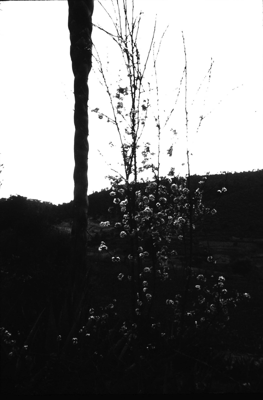 Prunus mexicana S. Watson. Confirmación por A. Eduardo Estrada C.