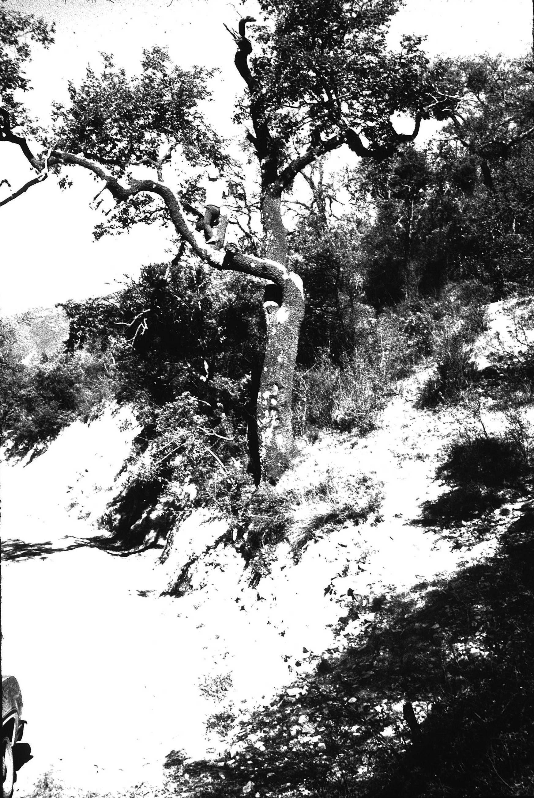 Prunus serótina Ehrh. ssp. capuli (Cav. ex Spreng.) McVaugh. Se agrade- ce la asistencia del Dr. A. Eduardo Estrada Castillón.