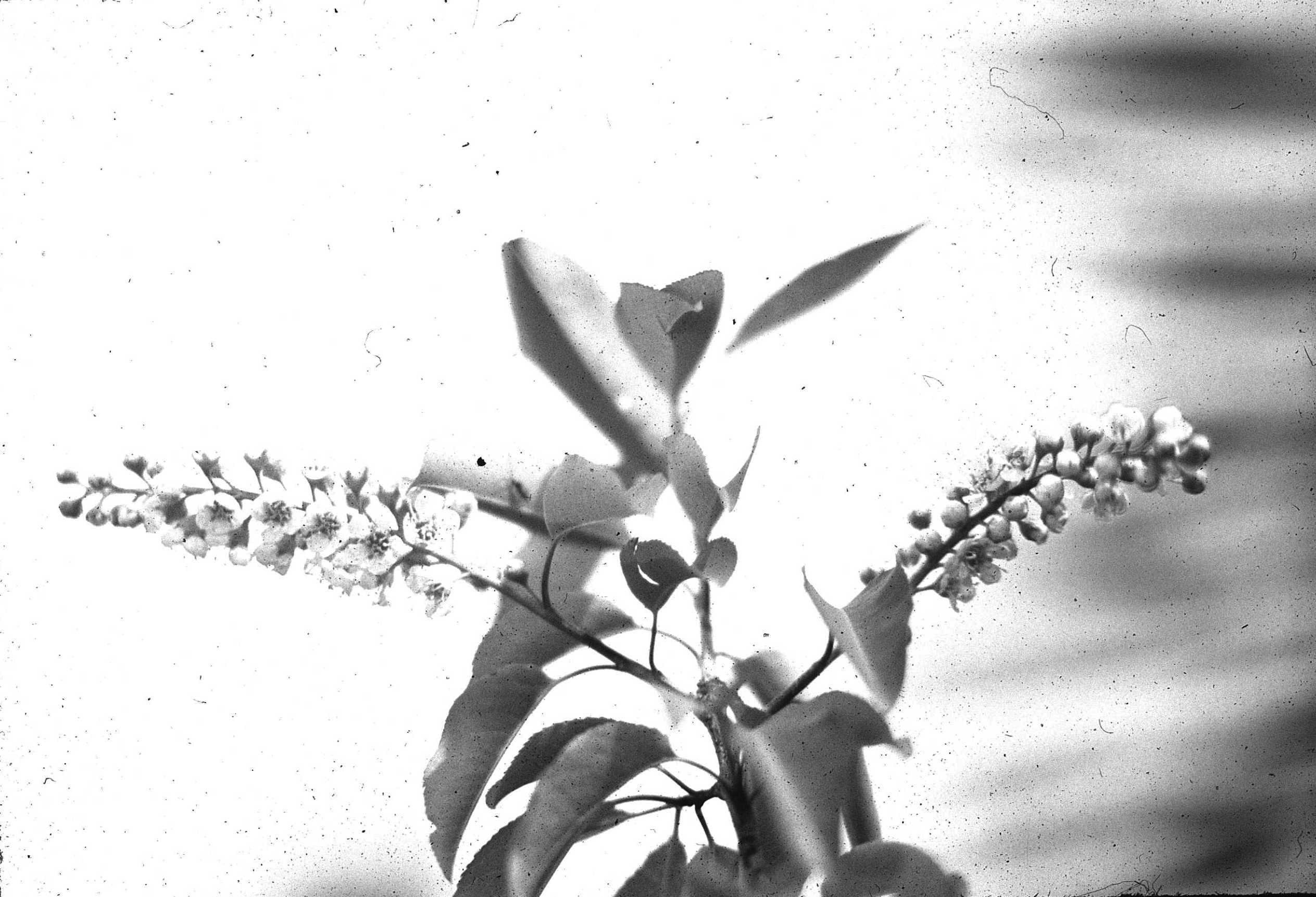 Ramilla florífera de Prunus serótina ssp. Capulí.
