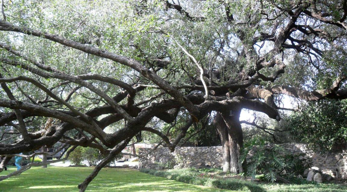 Árbol monumental, encino siempre verde, San Pedro Garza García, Nuevo León. Imagen: Glafiro Alanís