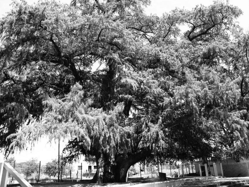 """Uno de los árboles notables del estado, el """"Sabino gordo"""" Taxodium mucronatum, ubicado en el municipio de General Terán, N.L. Imagen: Glafiro Alanís"""